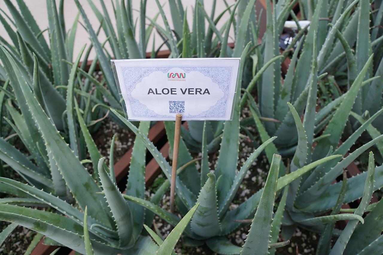Die Aloe Vera Pflanze in Deinem Garten